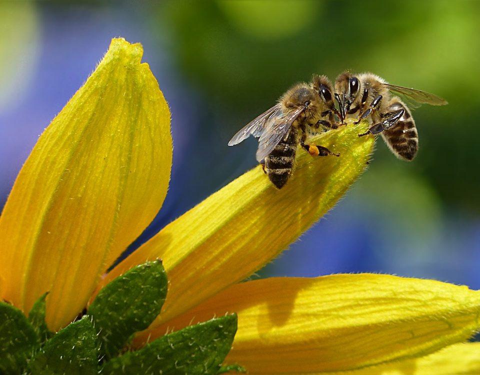 perché la scomparsa delle api è importante per l'agricoltura